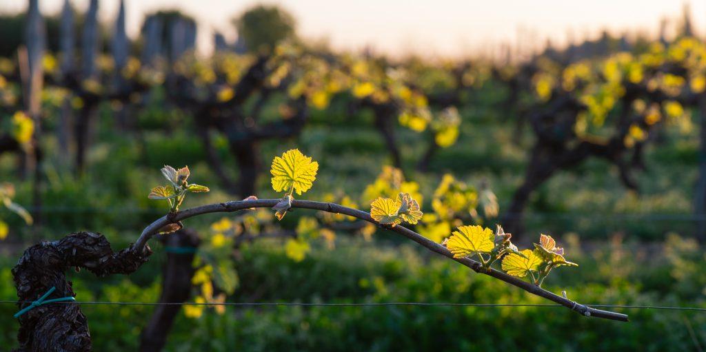 Vigne gironde Haute Valeur Environnementale HVE bio